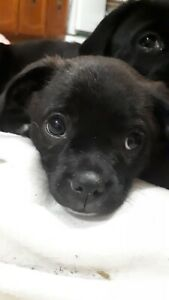 Beautiful Pug-Tzu puppies ready for their forever families!