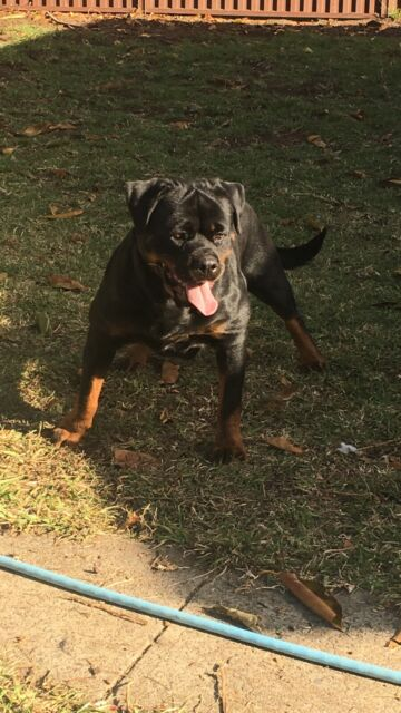 Rottweiler female dogs nsw membership  210008804 | Dogs
