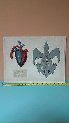 Vntg. Heart Anatomical Model Tabletop Education School Lab Desktop Zoology Bird