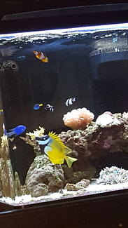 Foxface Rabbitfish and a pair of green & blue Chromis fish