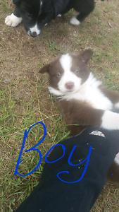 Border collie pups Ebor Guyra Area Preview