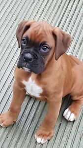 WTB RED BOXER PUP Perth Perth City Area Preview
