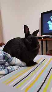 2 female netherland rabbits for good home Goodwood Unley Area Preview