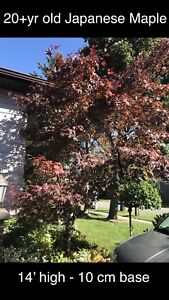 Japanese Maples for sale