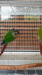 Proven breeding pair of green cheek conure for sale Eatons Hill Pine Rivers Area Preview