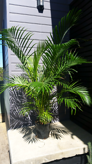 Large mature golden cane palm