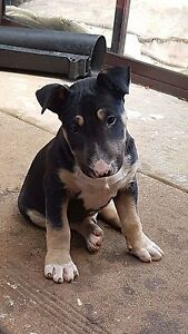 8 week old pure breed bull terrier Warrnambool Warrnambool City Preview