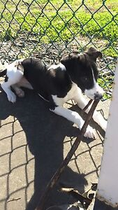 Pure bred whippet puppies Point Cook Wyndham Area Preview
