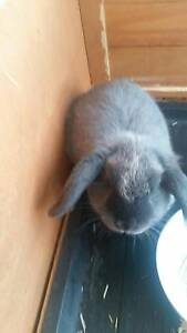 Great deal on a Lop female rabbit for sale including large hutch! Homebush Strathfield Area Preview