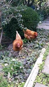 hyline browns (like an isa)  pullets / chickens Berwick Casey Area Preview