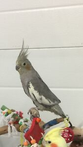 Health & DNA Tested 9 Month Old Female Cockatiel