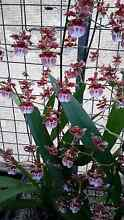 Oncidium Ruths Rainbow in flower now! Orchids Redland Bay Redland Area Preview