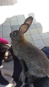 Rex rabbit free to good home Parkwood Canning Area Preview