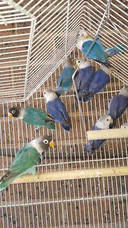 Mask lovebirds  Hampton Park Casey Area Preview