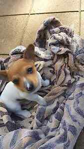 Miniture fox terrier pure breed male Parafield Gardens Salisbury Area Preview