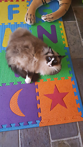 Ragdoll for rehoming Croydon Hills Maroondah Area Preview