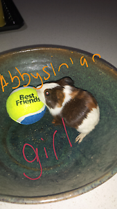 5 baby guinea pigs. Whittlesea Whittlesea Area Preview