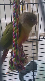 Younge pineapple conure
