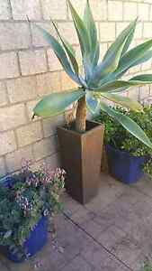 Large tall terracotta clay plant pot textured incl plant Redland Bay Redland Area Preview