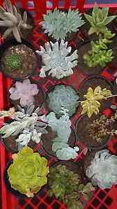 Succulents @ $8.00 collection/ post ($10)/ or Saturday Delivery Armidale Armidale City Preview