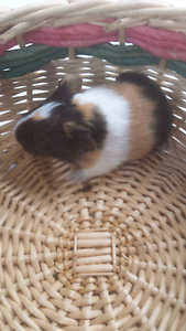 Female baby guinea pigs. Whittlesea Whittlesea Area Preview