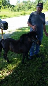 Mini gelded pony