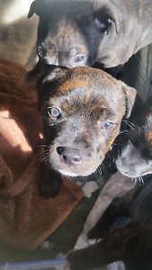 English staffy puppies Kyogle Kyogle Area Preview