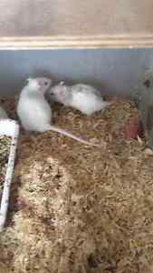 Beautiful male rats Dublin Mallala Area Preview