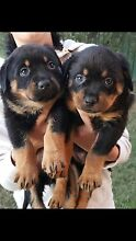 7 week old Rottweiler puppy for sale Cambridge Gardens Penrith Area Preview