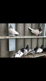 Pigeon for sell each $100 start