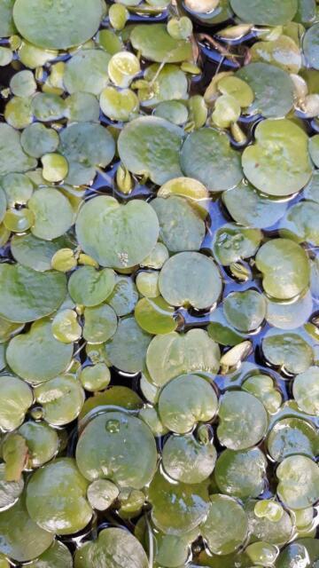 Frogbit Floating Pond Plant Plants Gumtree Australia