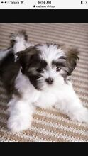 Wanting to buy Maltese shitzu puppy Eastlakes Botany Bay Area Preview