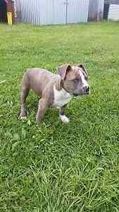 Pedigree american staffy puppies Albany Albany Area Preview