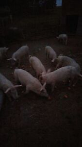 Weaned pigs for sale