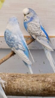 Ready to breed English female budgies.  Noble Park Greater Dandenong Preview