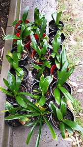 Clivia plants Pascoe Vale Moreland Area Preview
