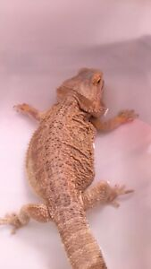 Female bearded dragon