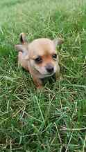 Chihuahua x Maltese female puppy Plainland Lockyer Valley Preview