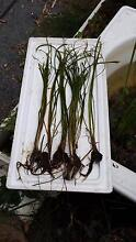 SUBMERSIBLE WATER GRASS PLANTS FOR PONDS, DAMS OR DEEP AQUARIUMS. Buccan Logan Area Preview