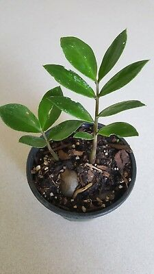 2 Rare ZZ indoor Plant,Zanzibar Gem Easy to Grow Live Houseplant growing