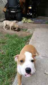 Staffy pups Rosewood Ipswich City Preview