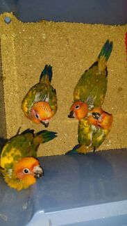 DNA sexed baby female hand raised sun conures Five Dock Canada Bay Area Preview