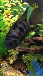 Looking for free American cichlids
