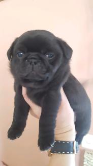 Purebred Pug Puppy Black Female