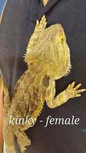 Bearded Dragons Pittsworth Toowoomba Surrounds Preview