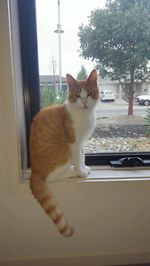 Lost cat ginger Taylors Hill Melton Area Preview
