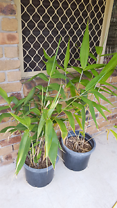 Tiger Grass x 2 Ormeau Gold Coast North Preview