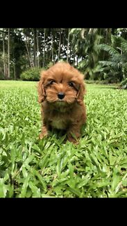 Tiny Red Toy Cavoodle