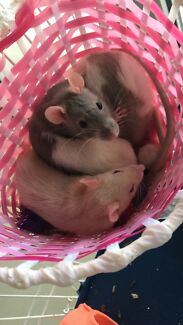 Wanted: Wanting a patchwork or hairless rat!