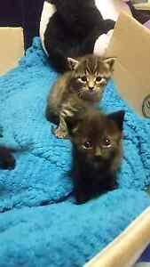 ALL KITTENS HAVE GONE  4 Gawjus Furbabies    Free to Good Home :) West Wallsend Lake Macquarie Area Preview